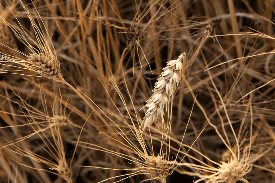 Spiga di grano tenero